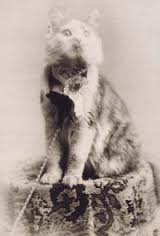 Cosey, Maine Coon
