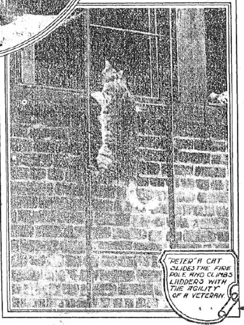 Peter the cat of Engine 152, Brooklyn Daily Eagle