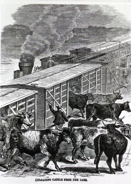 The cattle often escaped after existing the cattle trains on the Hudson River Railroad.