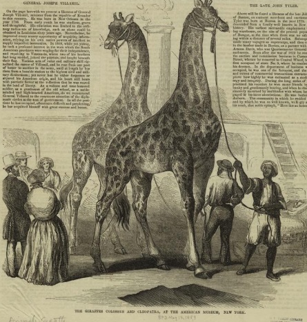 Giraffes at P.T. Barnum