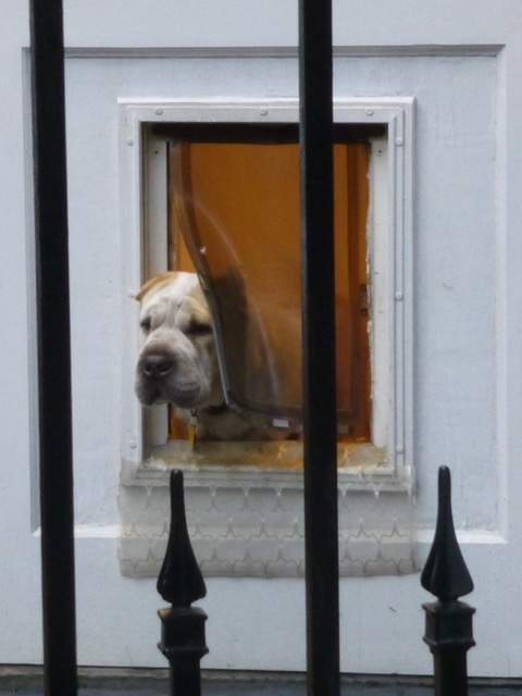 """If you're lucky, you'll get a glimpse of the new """"Mister Dog"""" looking out his doggie door. Photo courtesy of neighbor Judith E. Marsh."""